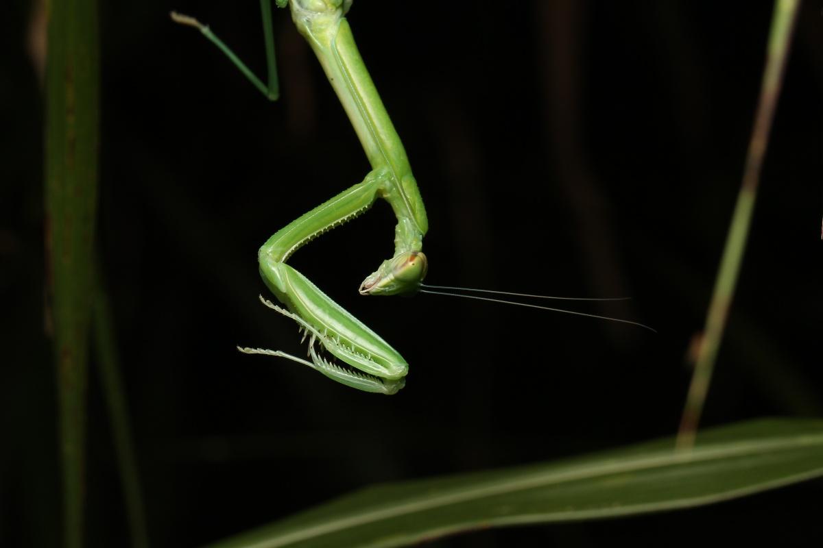 螳螂.jpg