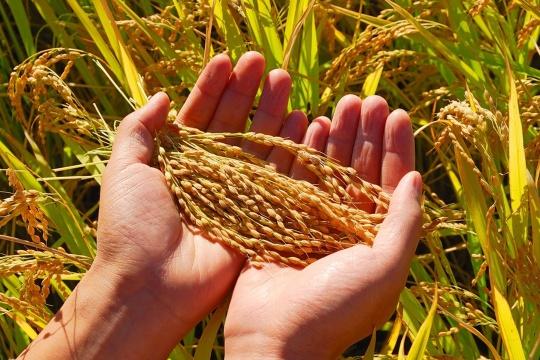 【国庆半日】收割稻谷喽!运输稻谷,古法脱粒,秋日丰收行动